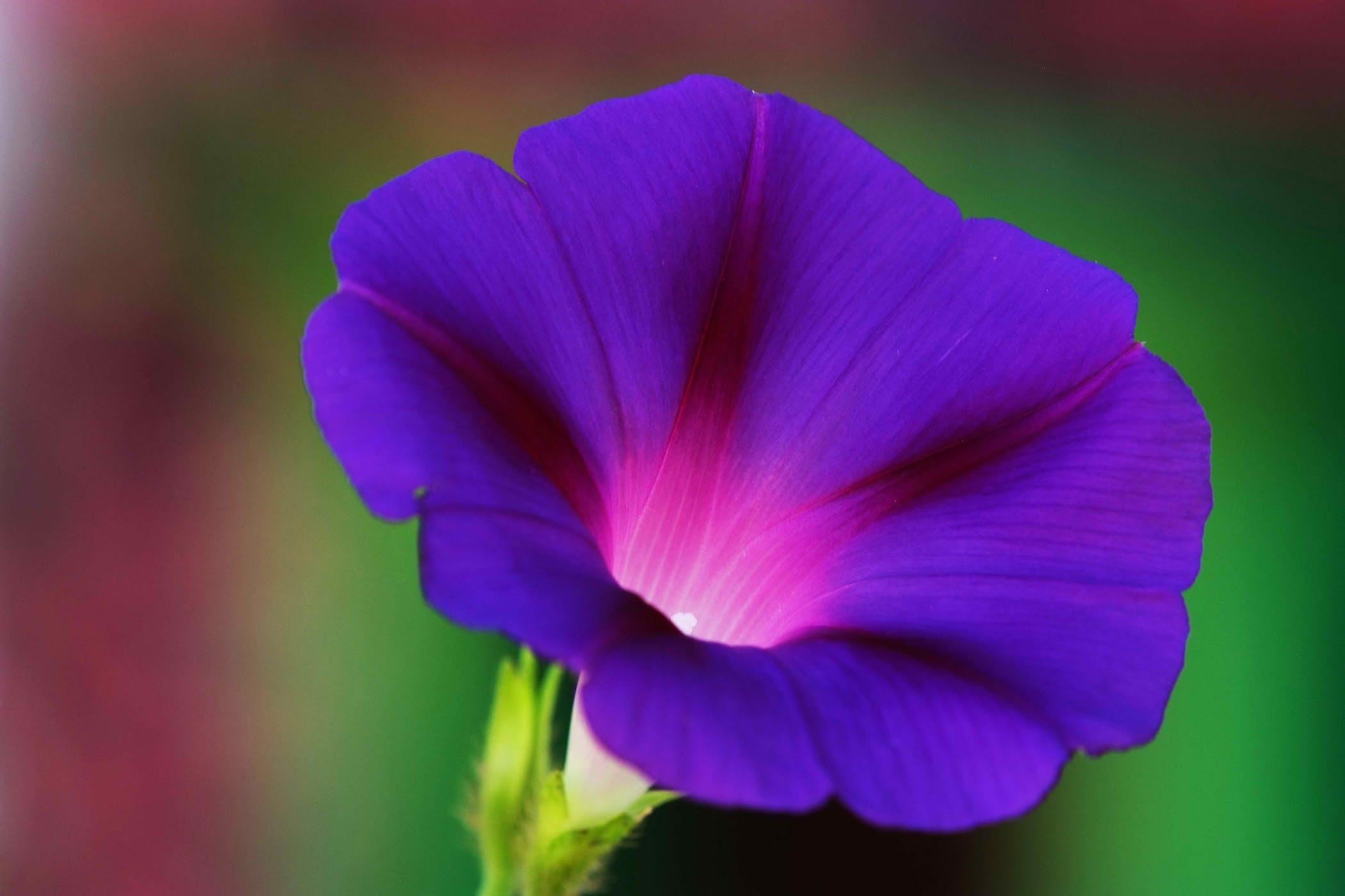 Ảnh hoa bìm bịp tím đẹp