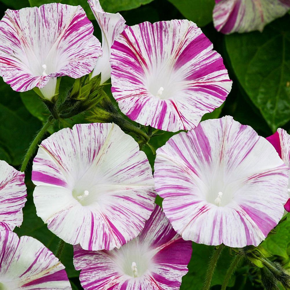Ảnh hoa bìm bịp trắng tím đẹp nhất