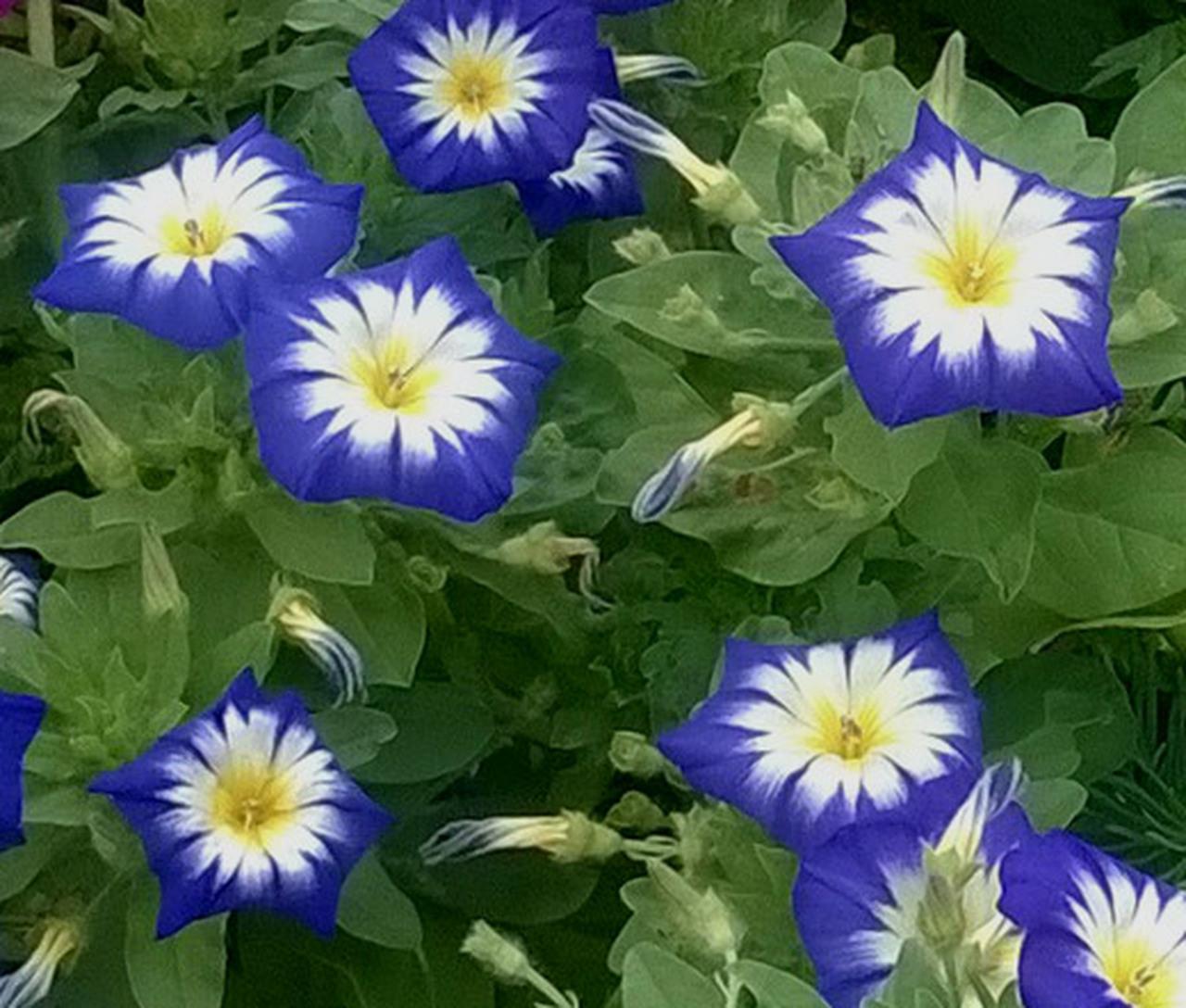 Ảnh hoa bìm bịp xanh đẹp nhất