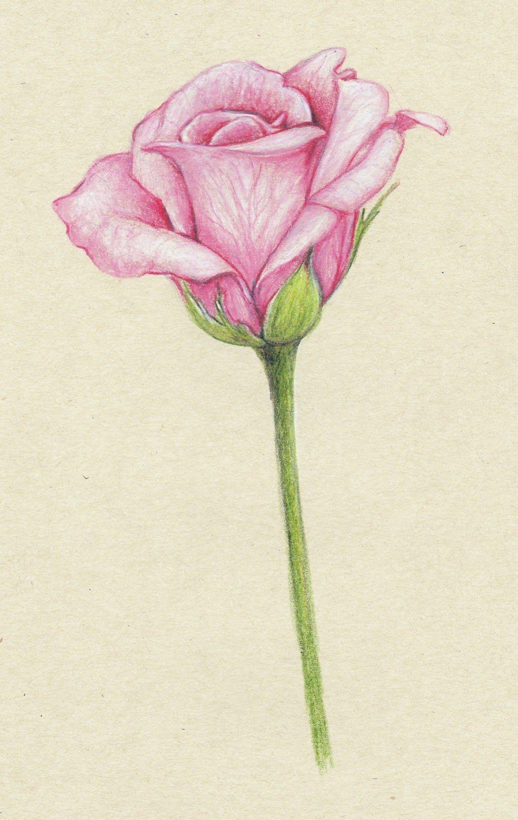 Ảnh vẽ hoa hồng bằng bút chì đẹp nhất