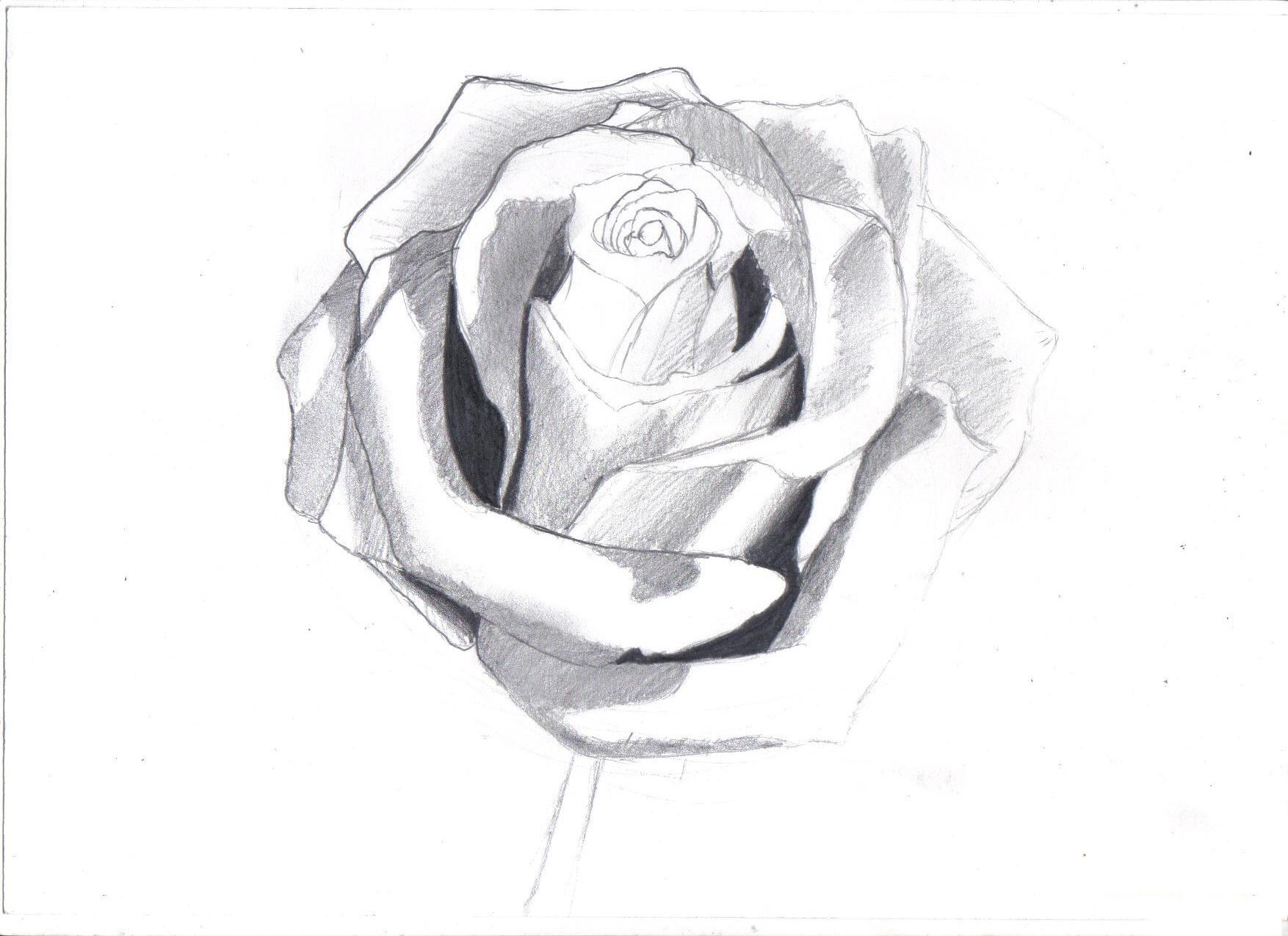 Ảnh vẽ hoa hồng bằng bút chì đẹp