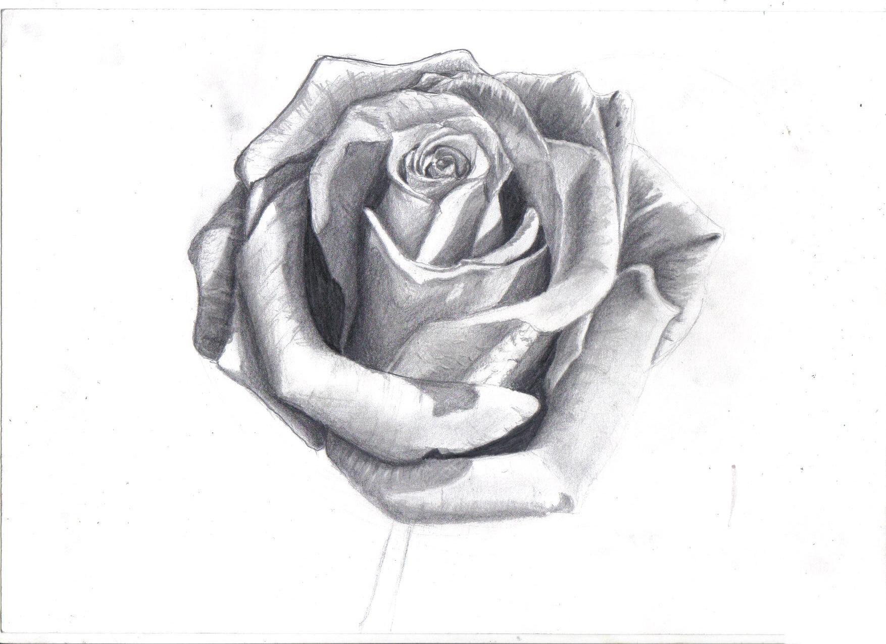 Ảnh vẽ hoa hồng bằng bút chì