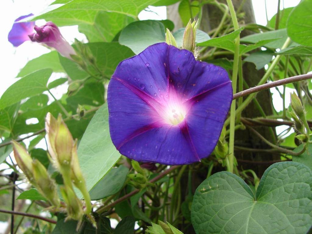 Bông hoa bìm bịp màu tím hình ảnh đẹp
