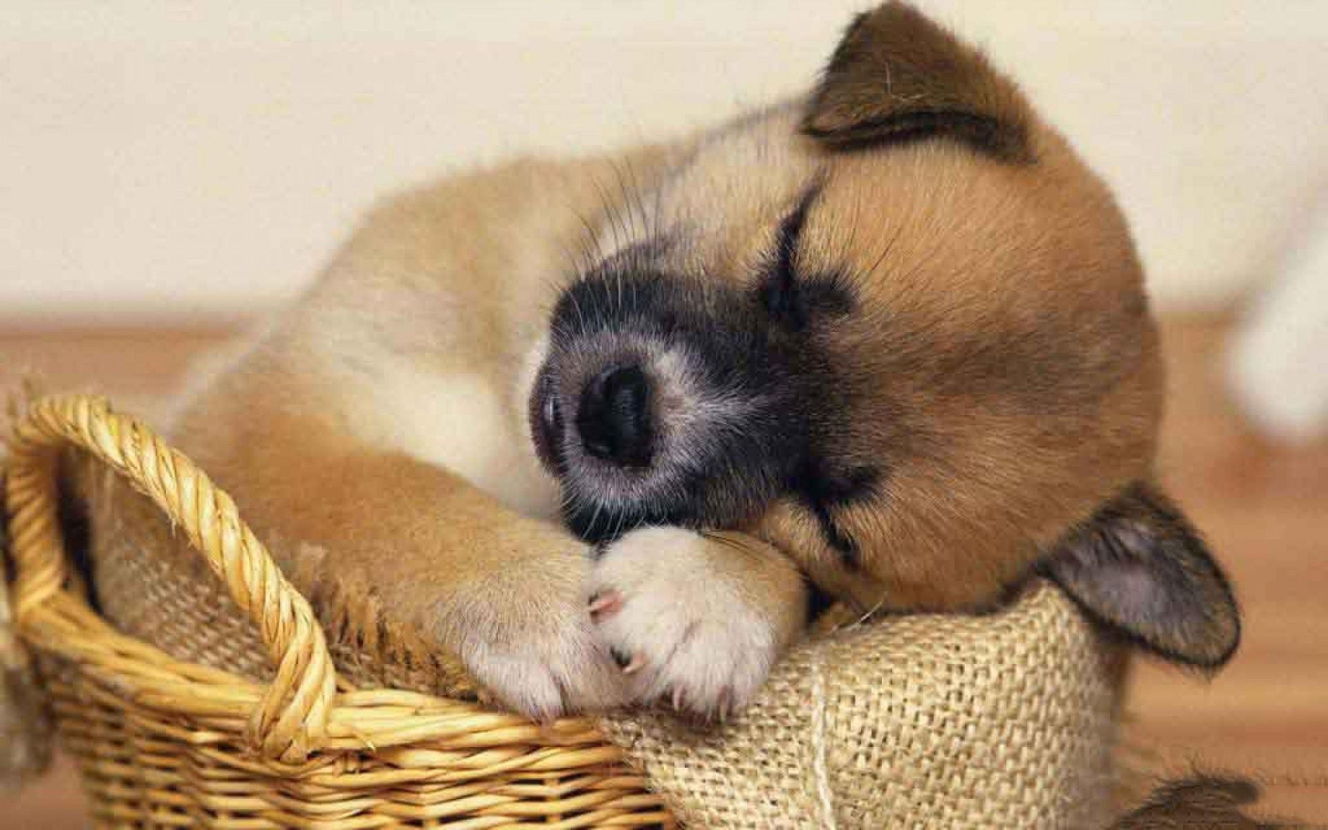 Hình ảnh chó con buồn ngủ dễ thương và hài hước nhất
