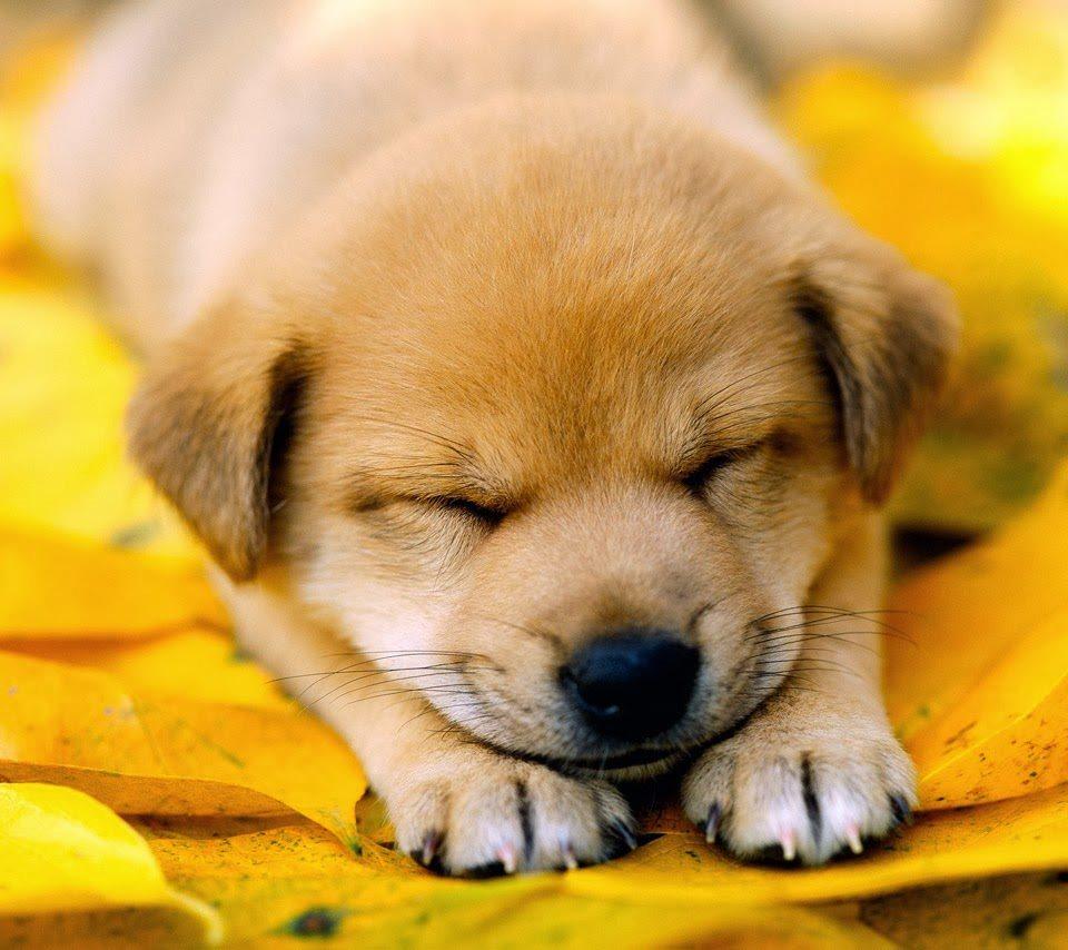 Hình ảnh chó con buồn ngủ hài hước và cute nhất