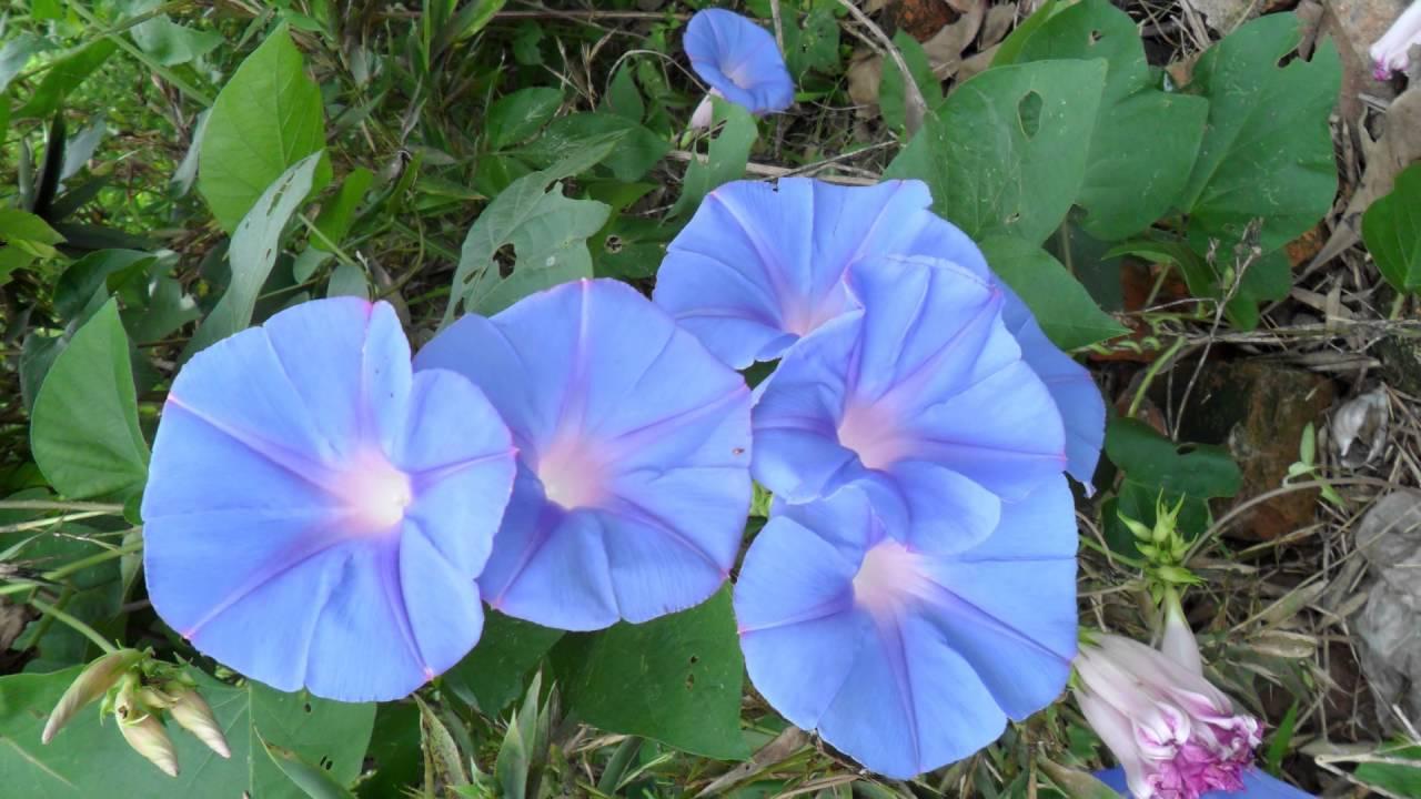 Hình ảnh đẹp nhất hoa bìm bịp