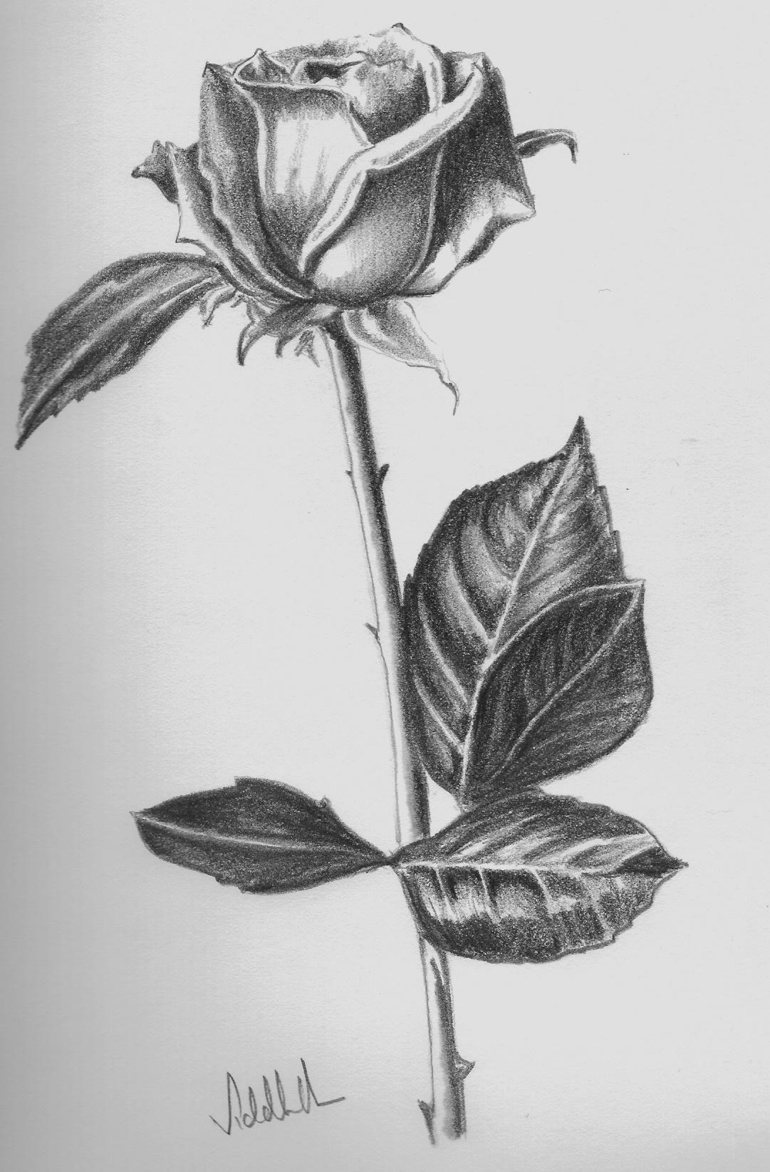 Hình ảnh đẹp nhất về vẽ hoa hồng bằng bút chì