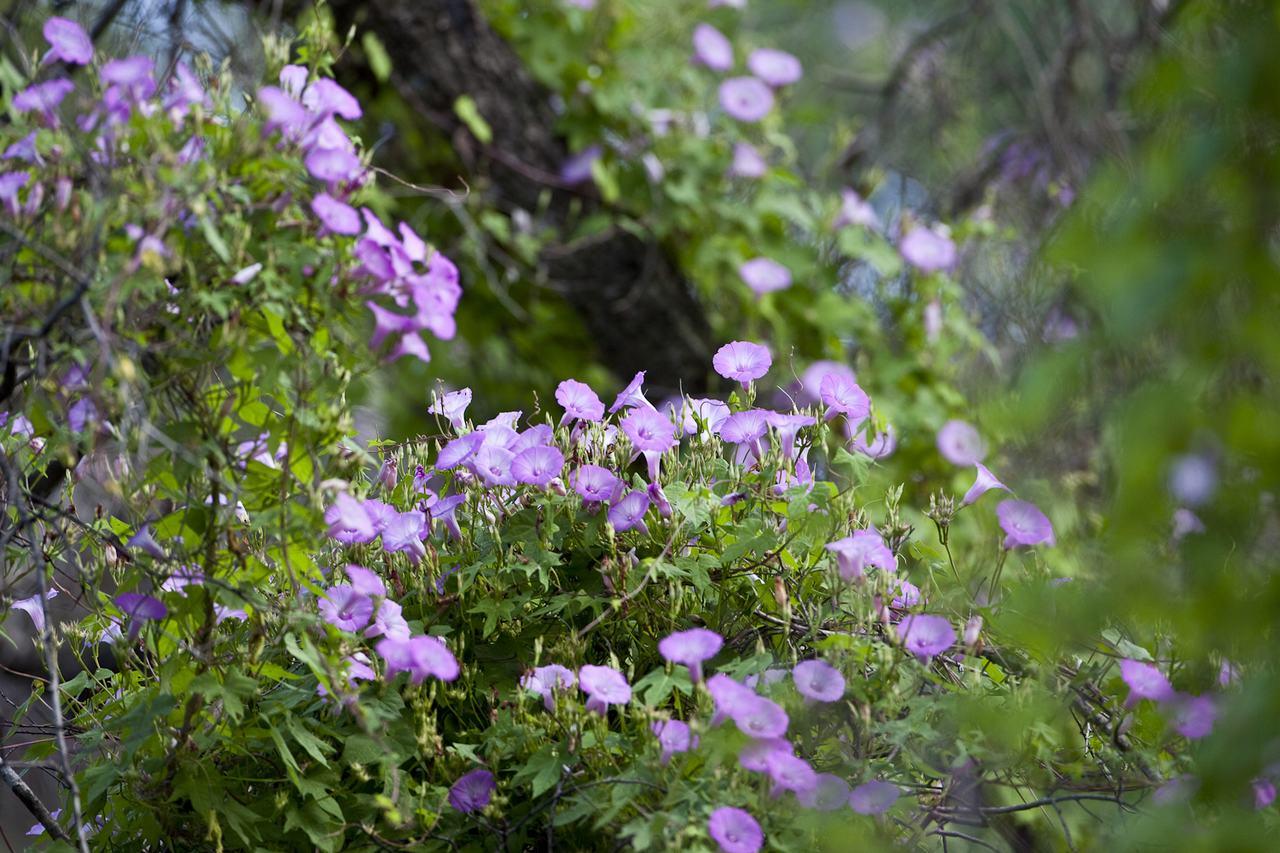 Hình ảnh đẹp về hoa bìm bịp leo
