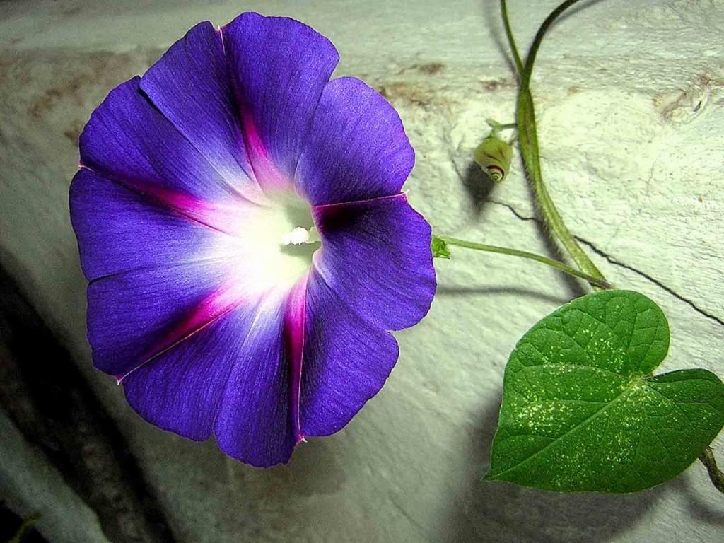 Hình ảnh hoa bìm bịp đẹp nhất