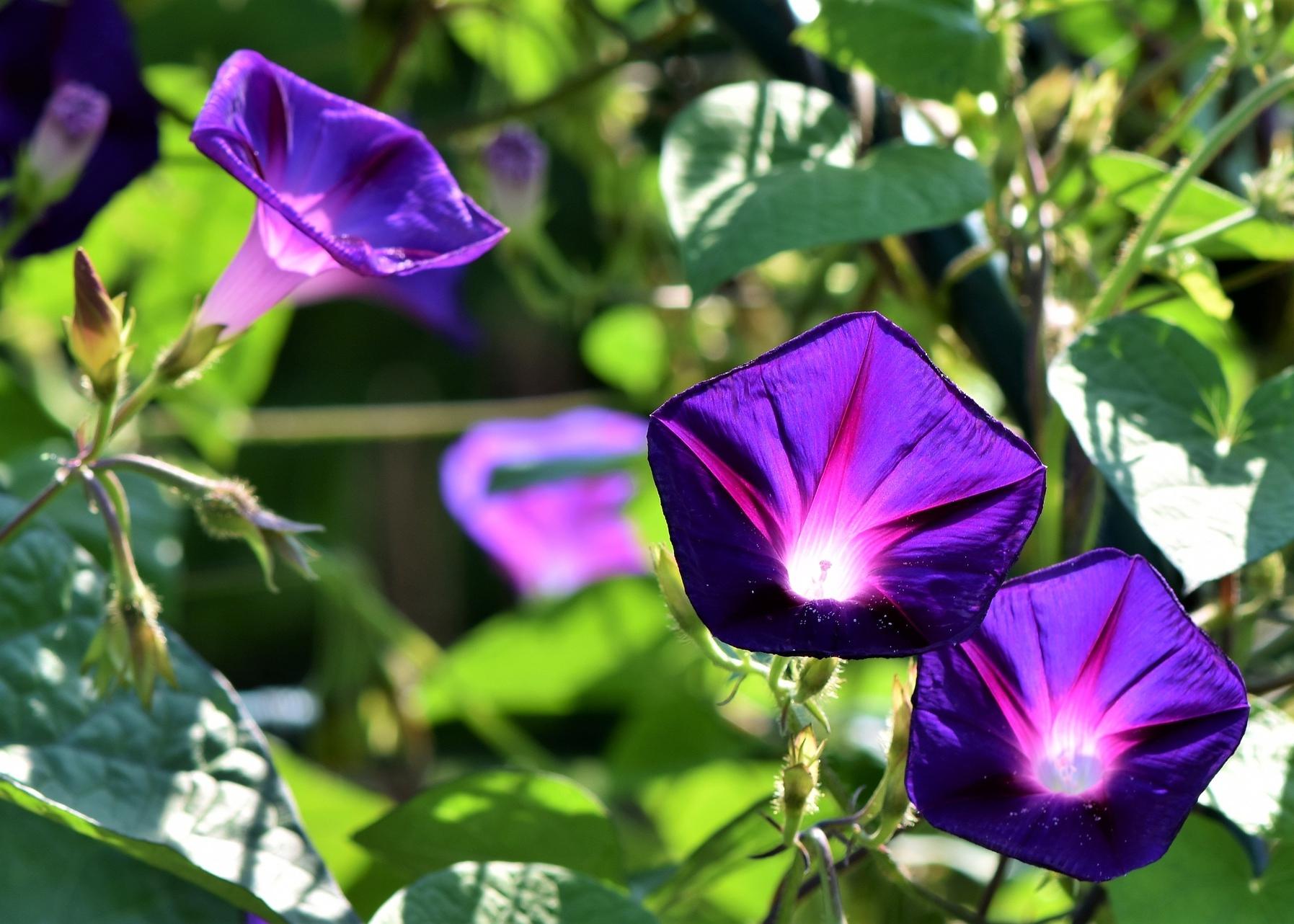 Hình ảnh hoa bìm bịp tím đẹp nhất