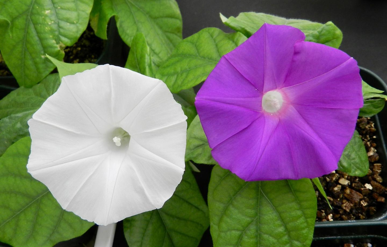 Hình ảnh hoa bìm bịp trắng và tím đẹp nhất