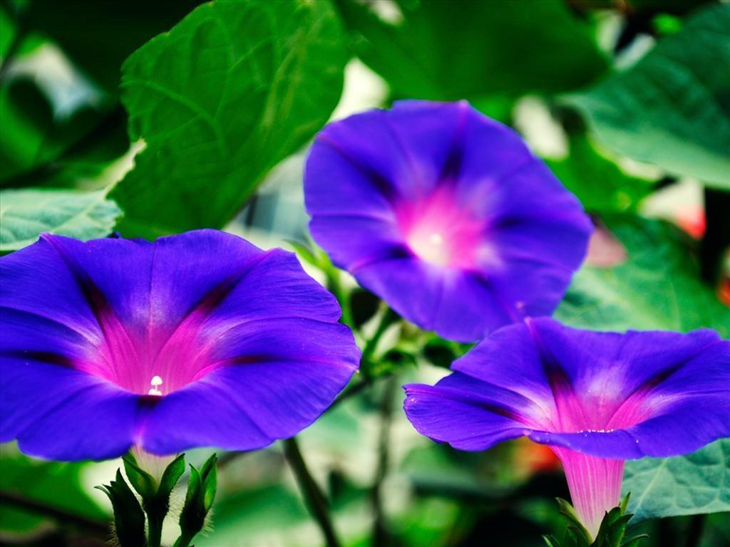 Hình ảnh hoa bìm bịp