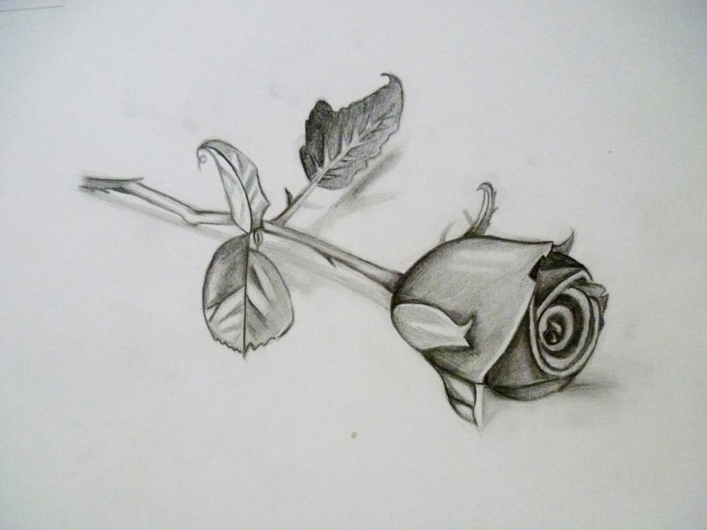 Hình ảnh vẽ hoa hồng bằng bút chì đẹp nhất