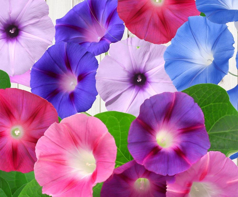 Hoa bìm bịp hình ảnh đẹp