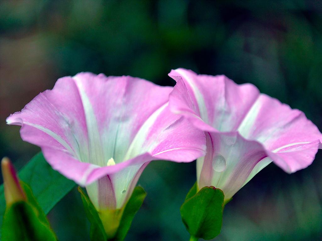 Hoa bìm bịp màu hồng hình ảnh đẹp nhất