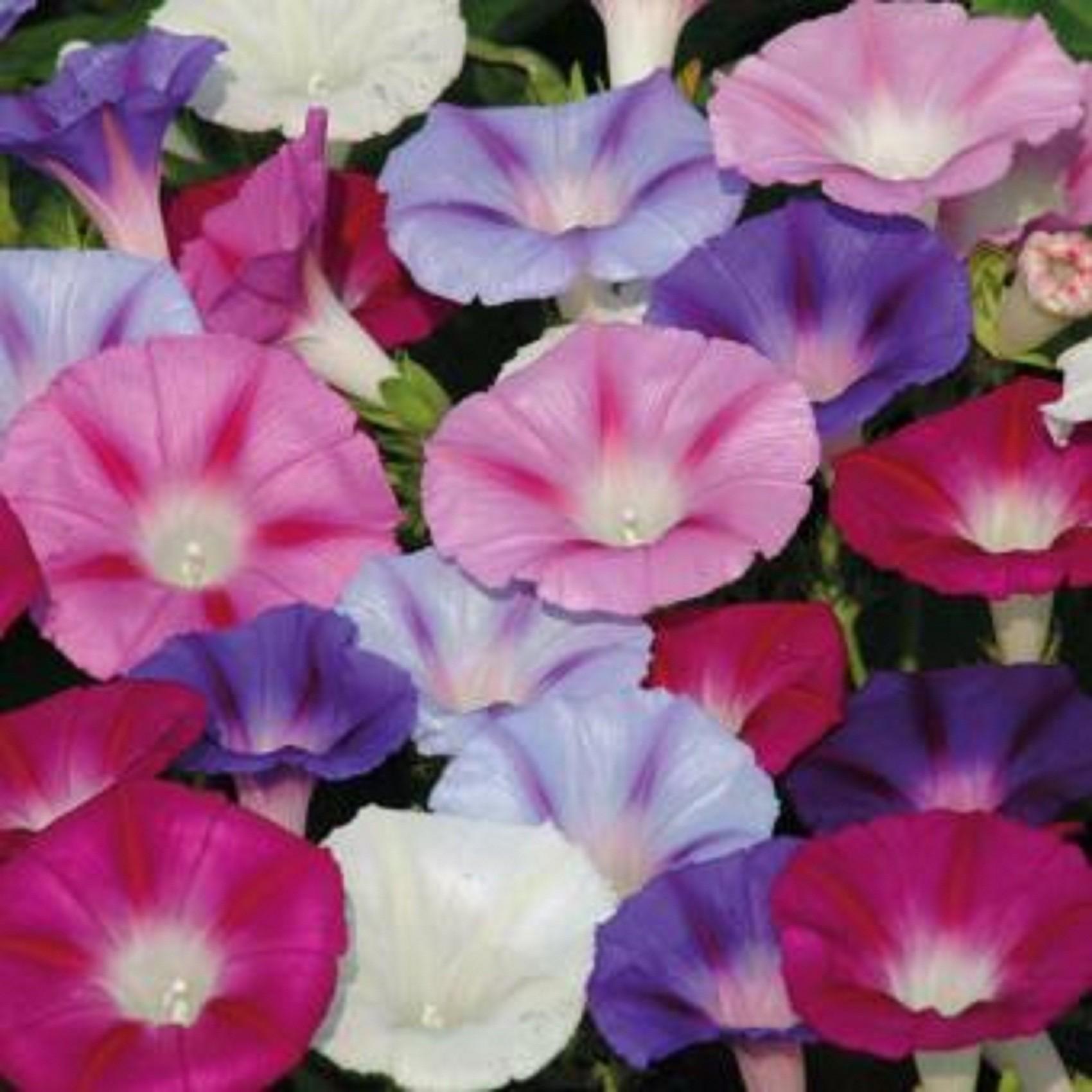 Hoa bìm bịp nhiều màu sắc đẹp nhất