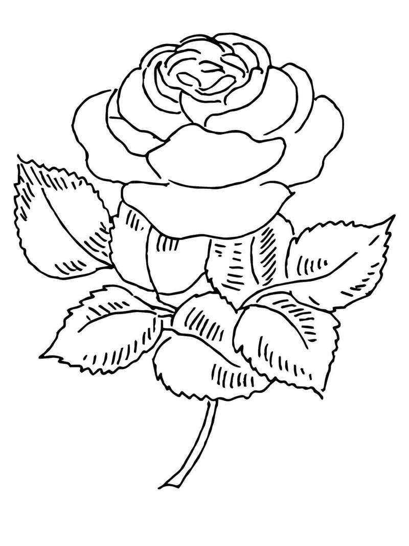 Hoa hồng vẽ bằng bút chì hình ảnh đẹp nhất