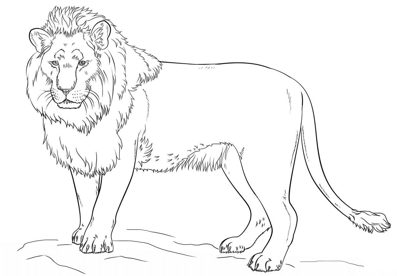 Tranh tô màu sư tử trưởng thành