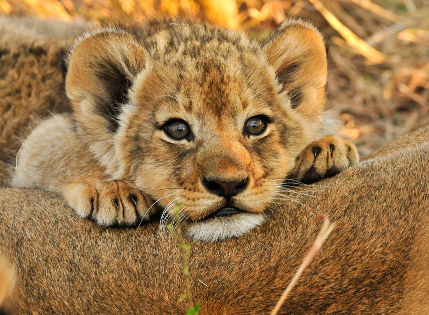 Ảnh đẹp về sư tử con