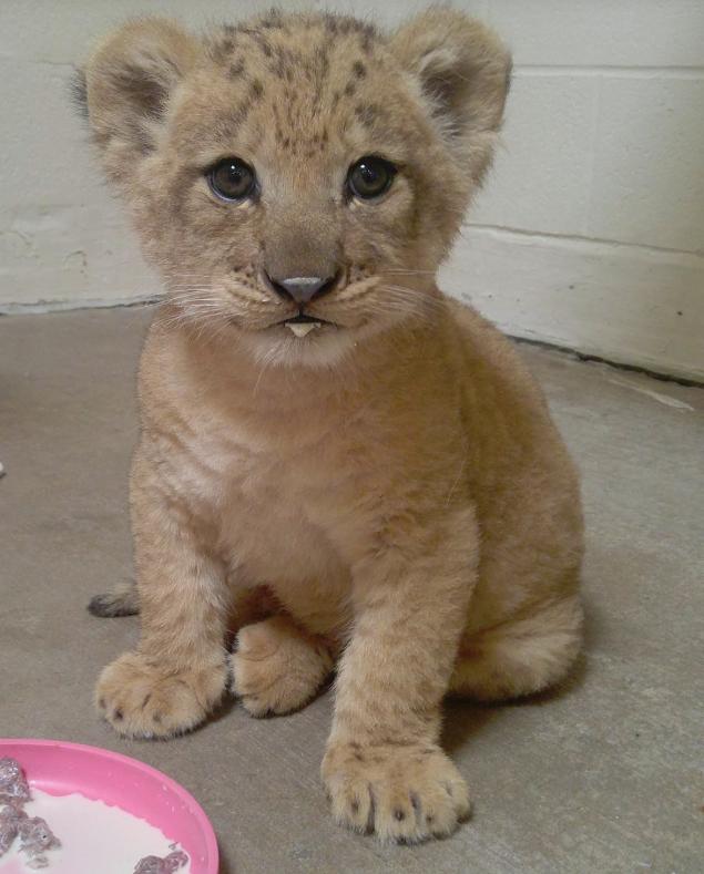 Hình ảnh chú sư tử con