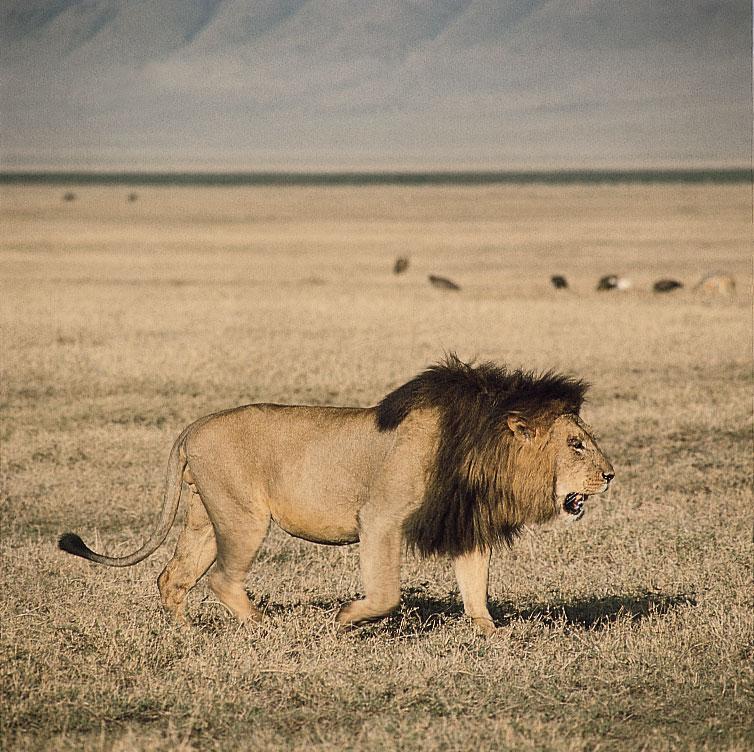 Hình ảnh con sư tử đực