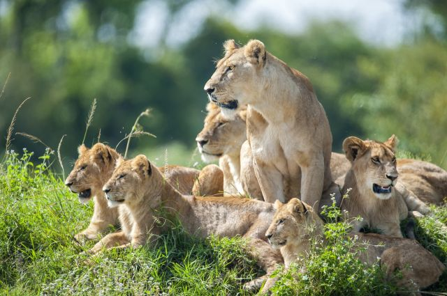 Hình ảnh đàn sư tử đẹp nhất