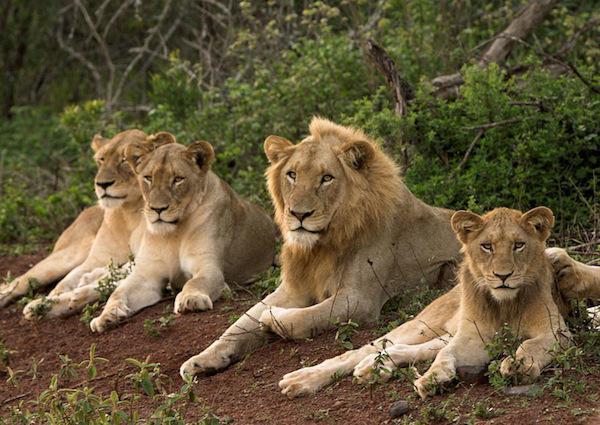 Hình ảnh đàn sư tử