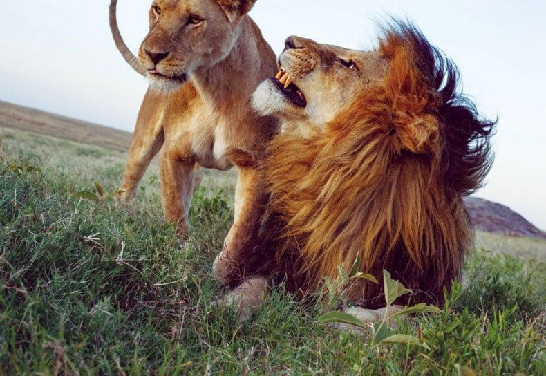 Hình ảnh đẹp về con sư tử