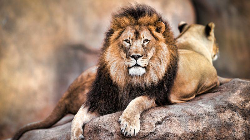 Hình ảnh đẹp về đôi sư tử