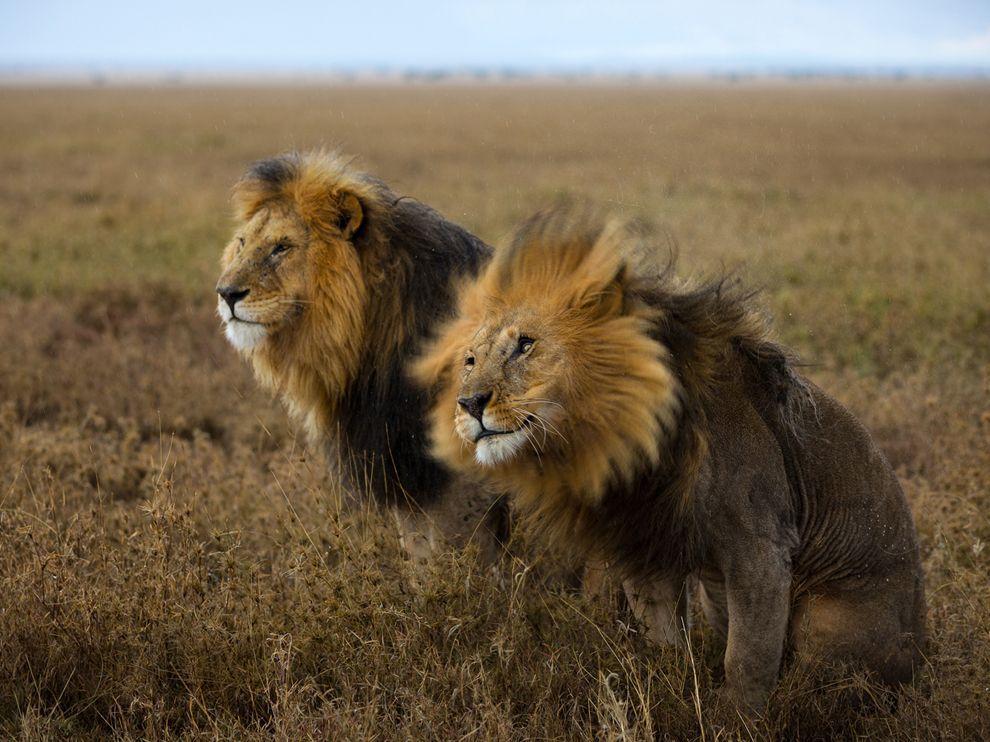 Hình ảnh đôi sư tử
