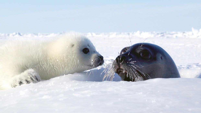 Hình ảnh loài sư tử biển