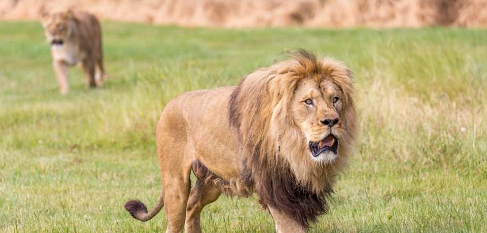 Hình ảnh sư tử bảo vệ lãnh thổ
