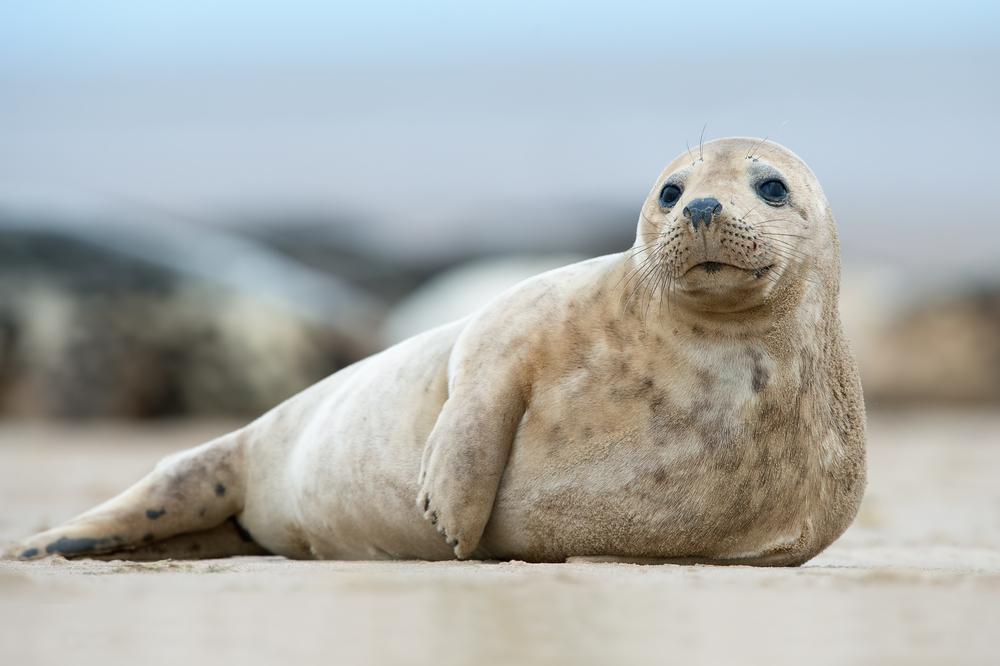 Hình ảnh sư tử biển