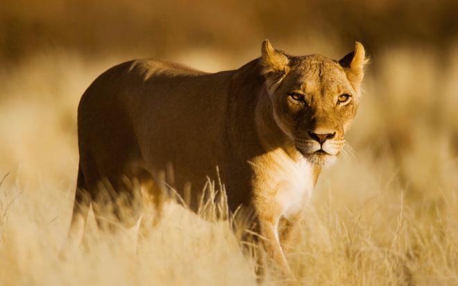 Hình ảnh sư tử cái hoang dã
