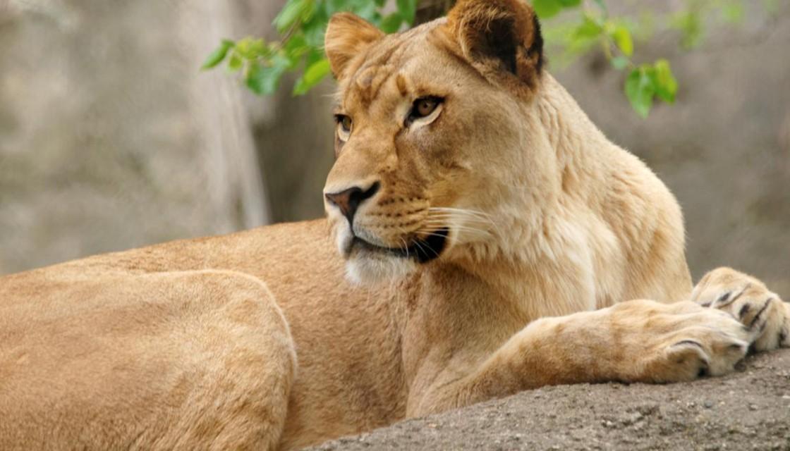 Hình ảnh sư tử cái