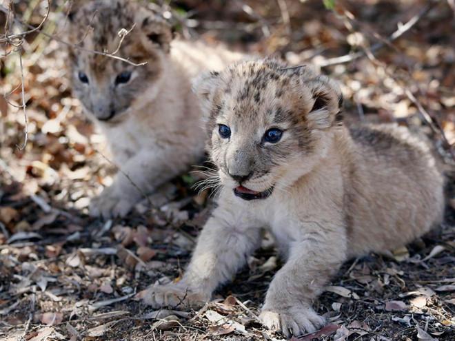 Hình ảnh sư tử con dễ thương
