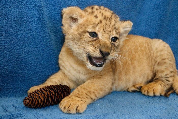 Hình ảnh sư tử con