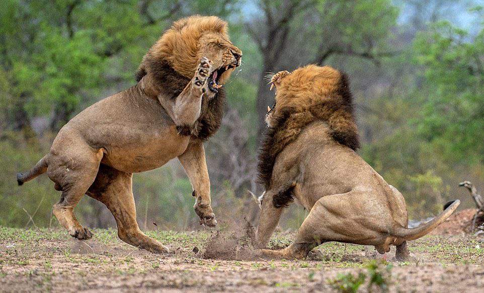 Hình ảnh sư tử đang bảo vệ lãnh thổ