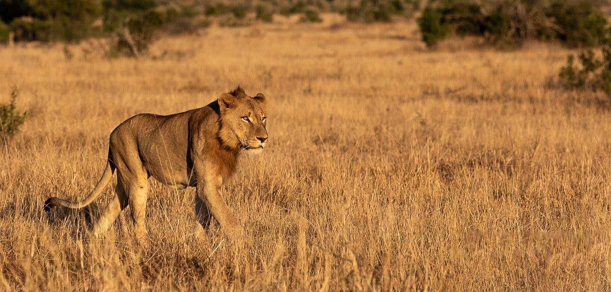 Hình ảnh sư tử đang đi săn