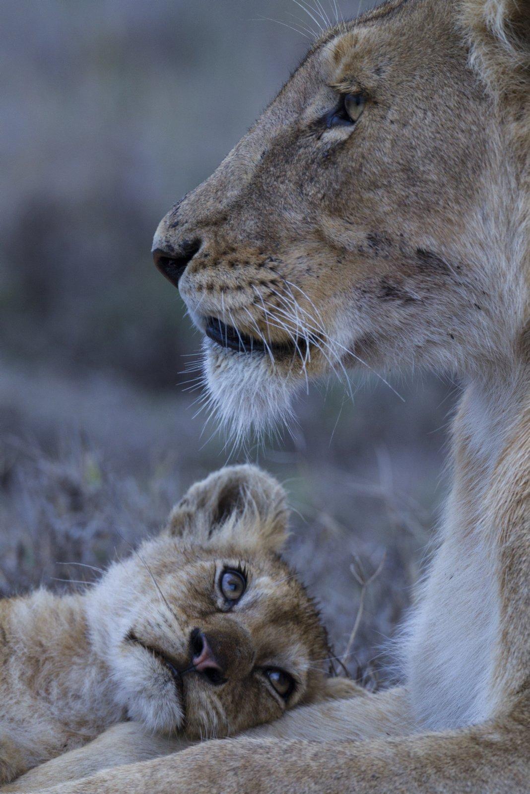 Hình ảnh sư tử đáng yêu