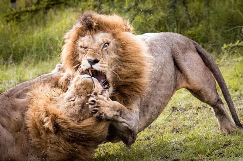 Hình ảnh sư tử đánh nhau