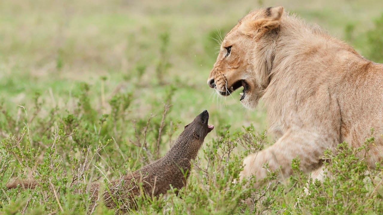 Hình ảnh sư tử đi săn