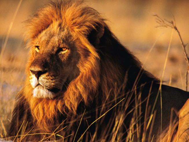 Hình ảnh sư tử đực