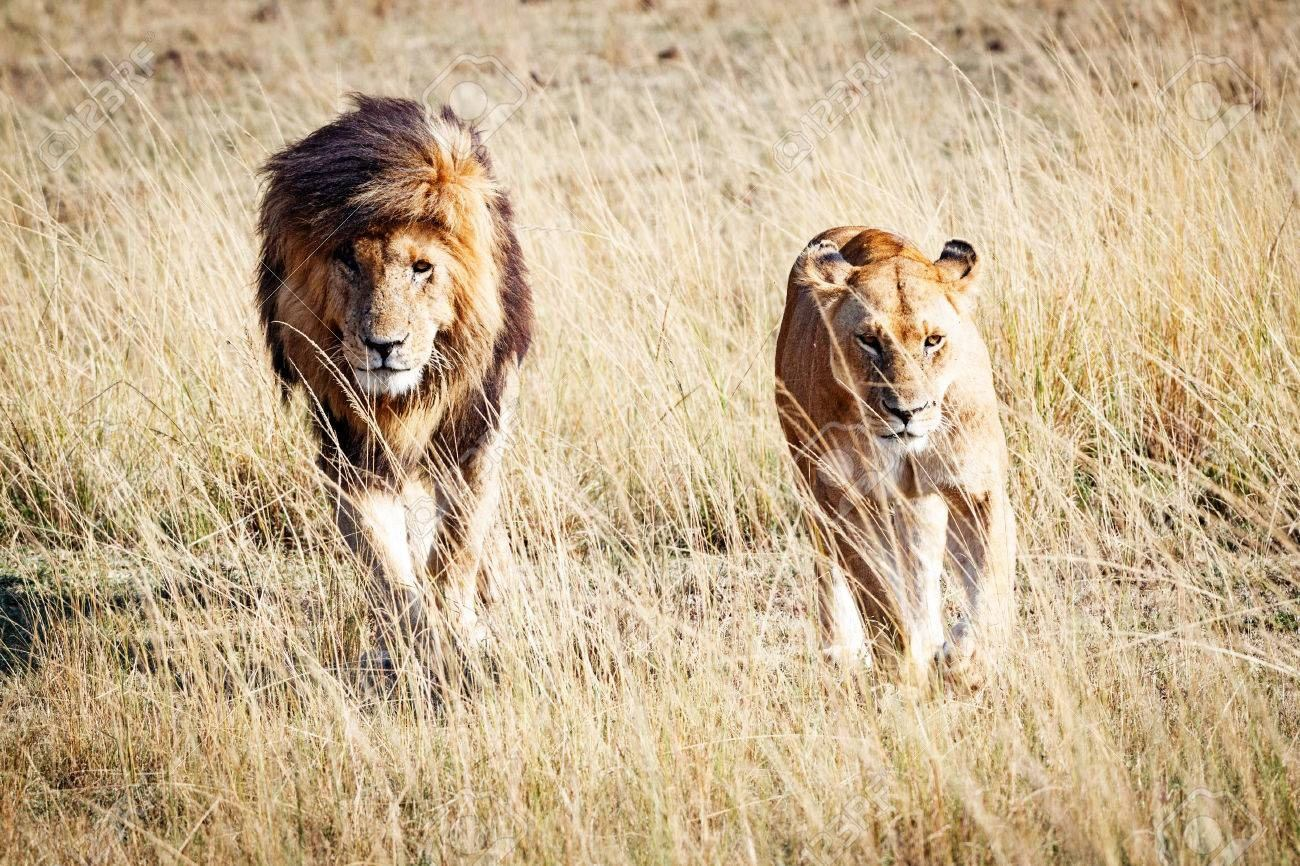 Hình ảnh sư tử ngoài thiên nhiên