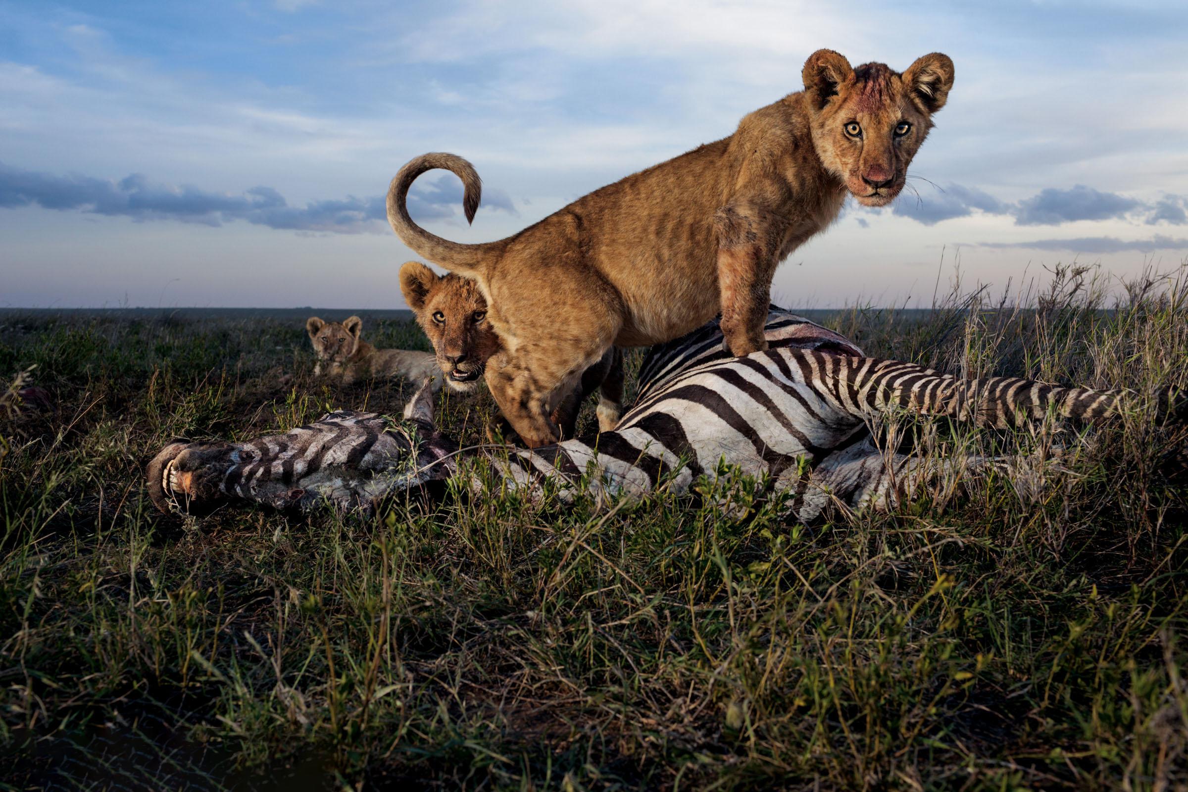 Hình ảnh sư tử săn mồi
