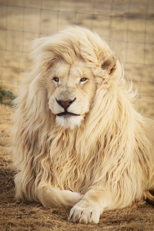 Hình ảnh sư tử trắng đẹp