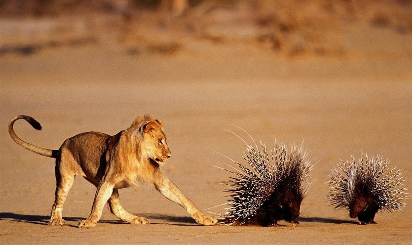 Hình ảnh sư tử và loài nhím