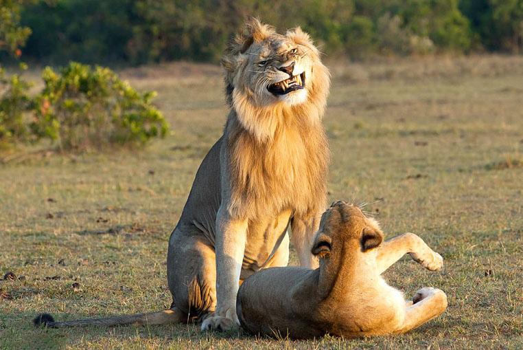Hình ảnh sư tử vui đùa