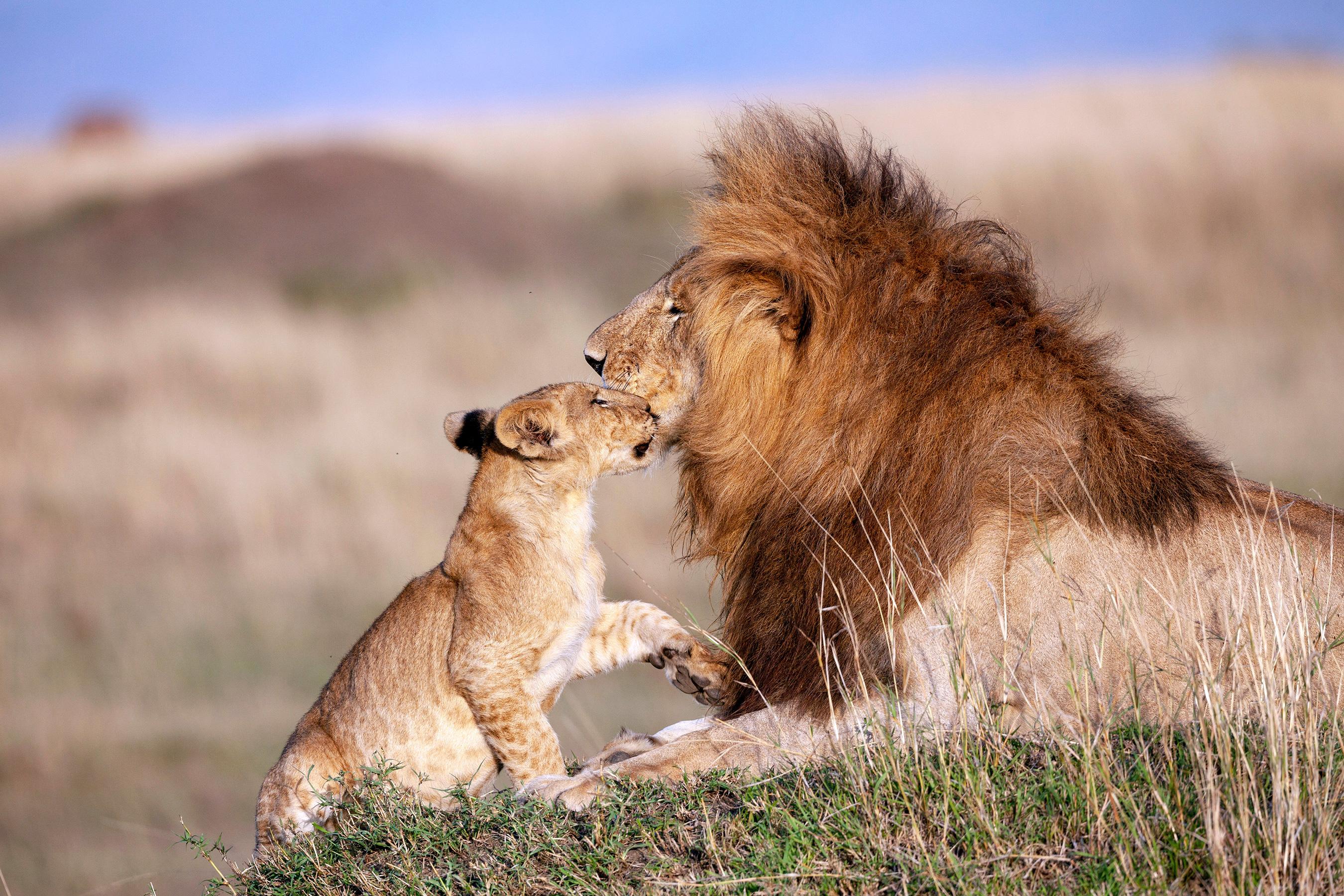 Hình ảnh về sư tử