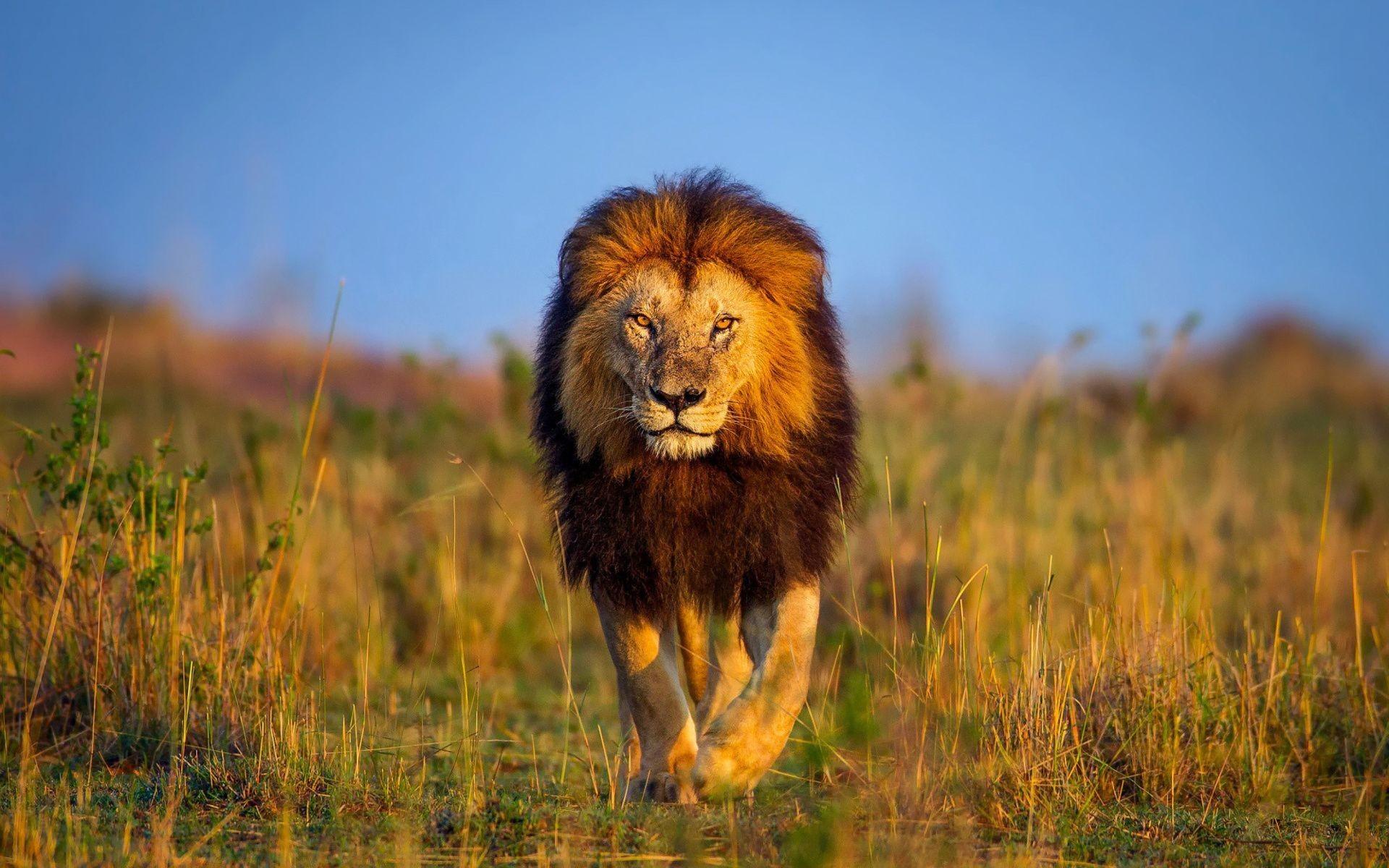 Hình nền đẹp sư tử hoang dã